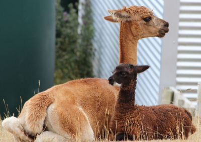 Gallin Alpacas Mother and Cria