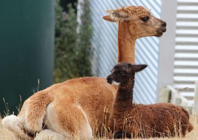 Gallin Alpacas Mother and Cria