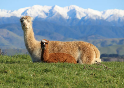 Gallin Alpacas with Tararuas