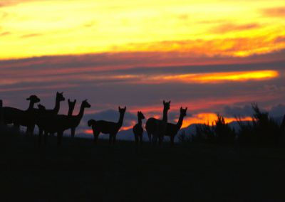 Pacas At Sunset