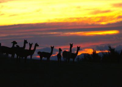 Pacas At Sunset