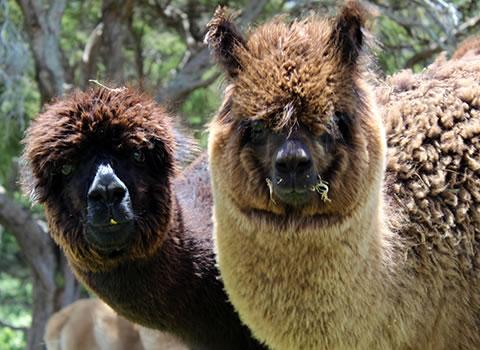 Gallin Farmstay Alpacas - homestay BnB