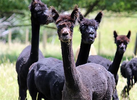 Alpaca blacks- Gallin Farm Alpacas