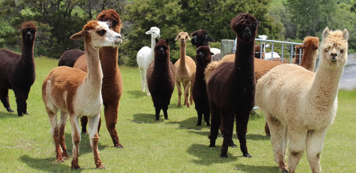 Alpaca herd - Gallin Farm Alpacas